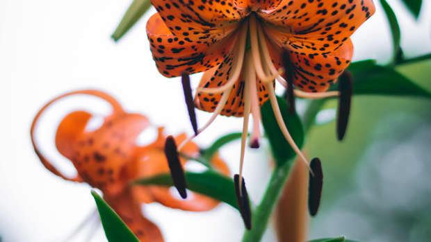 how-to-propagate-tiger-lilies-from-bulbils