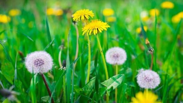 dandelion-as-medicine