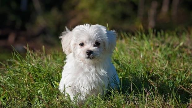 top-10-smallest-dogs-in-the-world