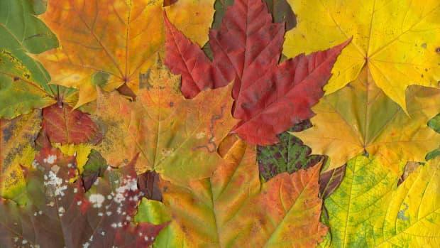 leafmoldusefallleavestoimprovegardensoil