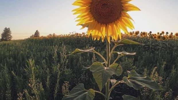 sunflower-garden-on-the-outskirts-of-saigon