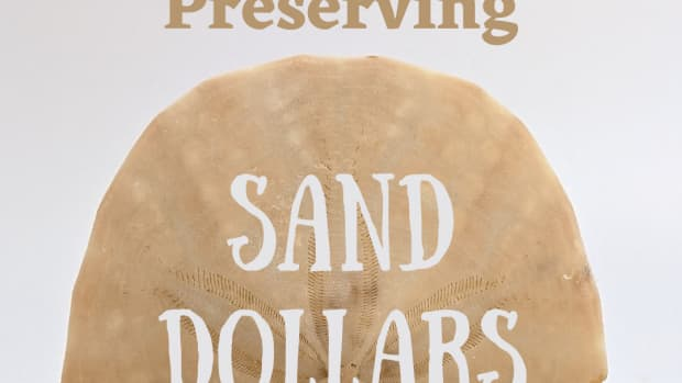 how-to-find-and-preserve-sand-dollars-and-turn-them-into-crafts