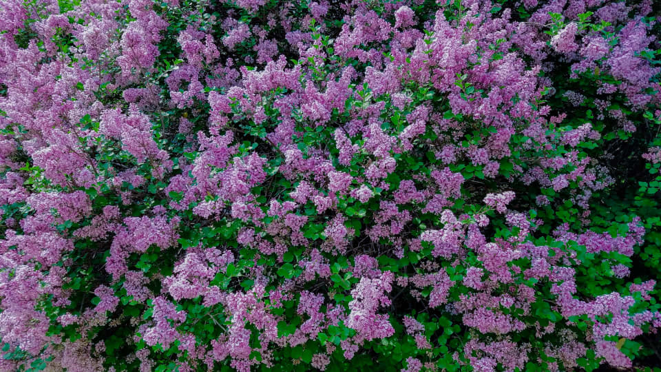The Best Flowering Shrubs and Bushes for the Eastern and Western U.S.