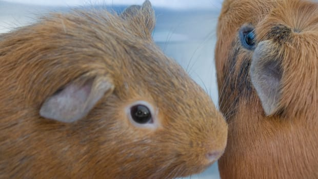 guinea-pig-a-great-pet-for-kids