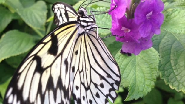 the-paper-kite-butterfy