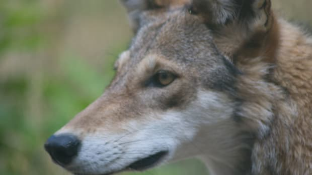 places-to-see-red-wolves-in-north-carolina