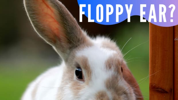 what-makes-rabbit-ears-go-floppy