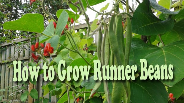 how-to-grow-runner-beans