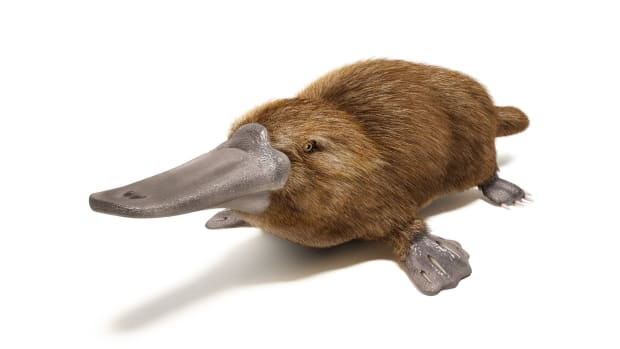 why-the-platypus-cant-make-up-his-mind
