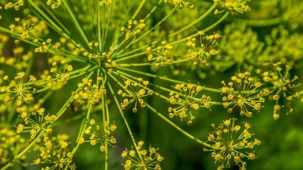 how-to-grow-fennel-like-an-expert