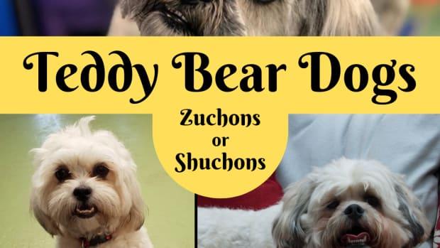 teddy-bear-puppies