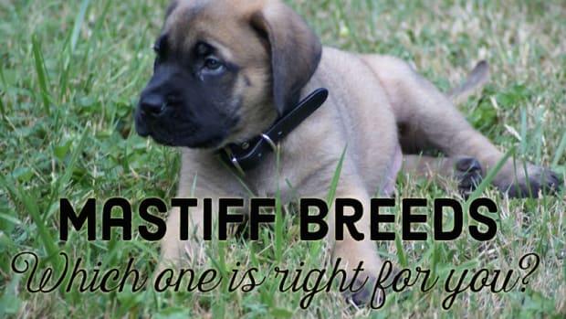 mastiff-breeds