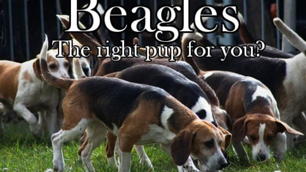 beagles-hunting-dog-or-family-pet