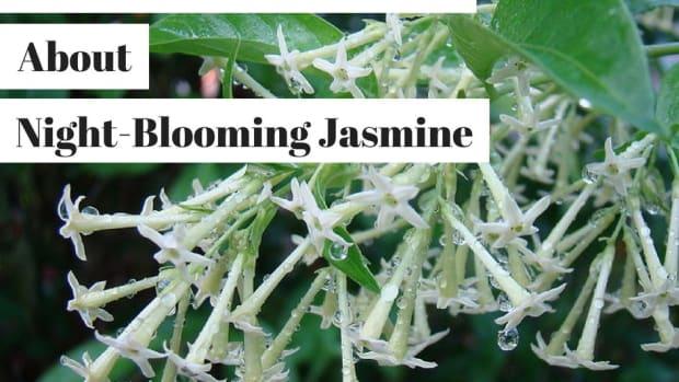 night-blooming-jasmine-cestrum-nocturnum