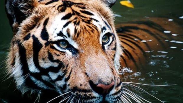 where-to-see-a-tiger-in-the-wild