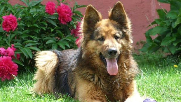 elbow-dysplasia-in-german-shepherd-dogs