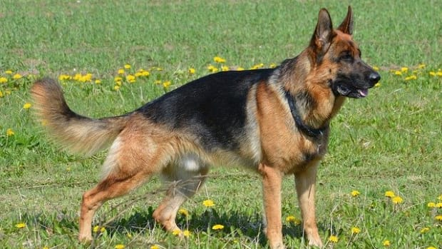 west-german-shepherd-working-line-dogs