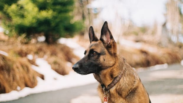 german-shepherd-bladder-urinary-stones