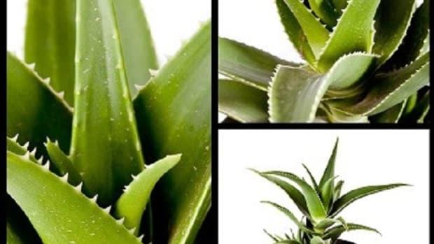 growing-aloe-vera-plants-at-home