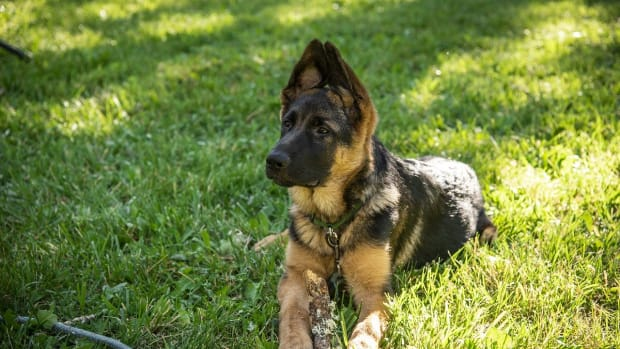 german-shepherd-rescue-and-adoption