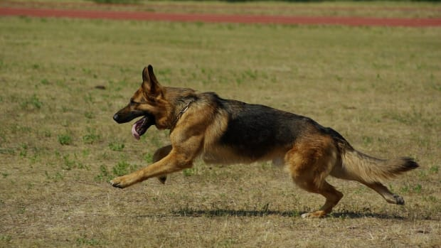 german-shepherd-hip-dysplasia-symptoms-causes