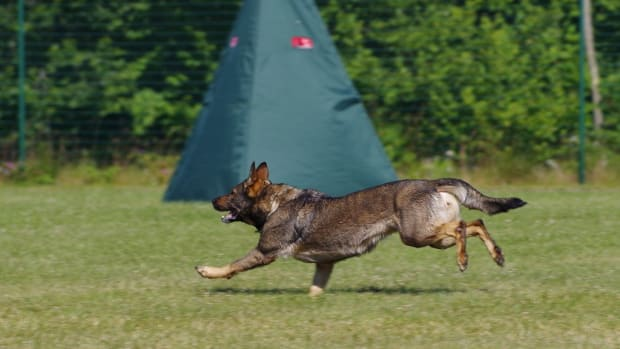 schutzhund-training-for-german-shepherds