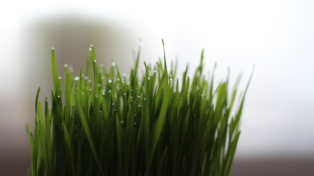 wheatgrass-health-and-benefits