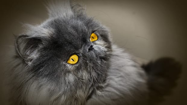 the-old-persian-cat-species