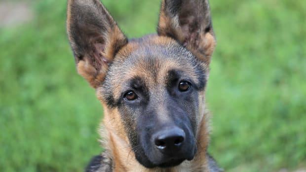 german-shepherd-worms-dogs