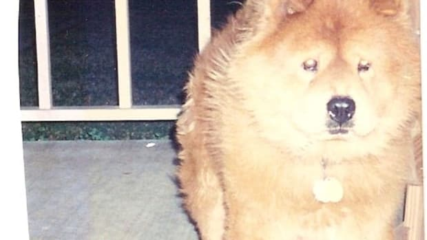 the-chow-chow-a-wonderful-and-loyal-breed-of-dog