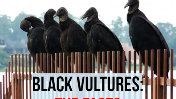 facts-about-black-vultures