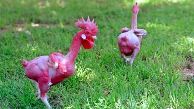 featherless-chickens