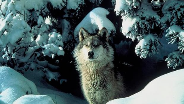 gray-wolf-you-can-help-this-endangered-species