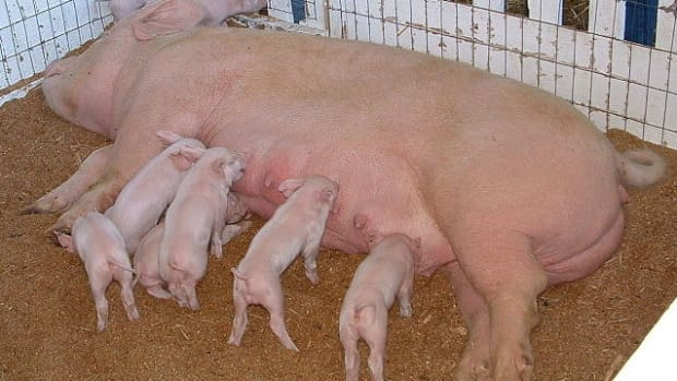 different-types-of-hog-pens-pig-pen-options-for-the-entire-life-cycle-of-a-pig-farrowing-weaning-and-finishing