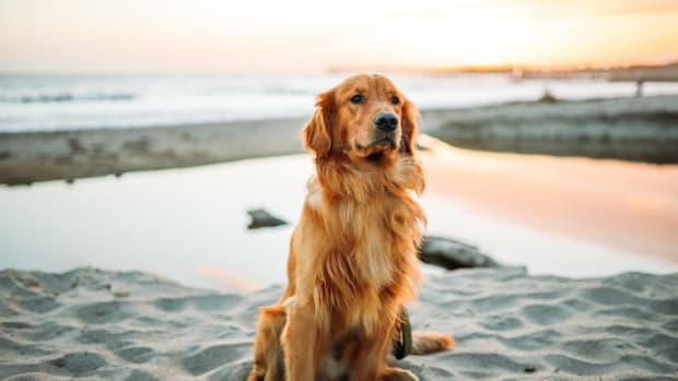 what-you-should-know-about-owning-a-golden-retriever