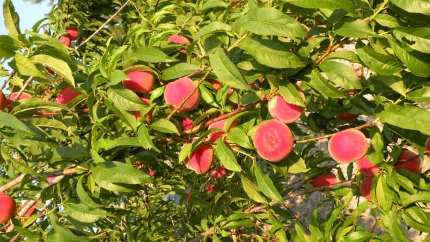the-best-homemade-peach-brandy-recipe