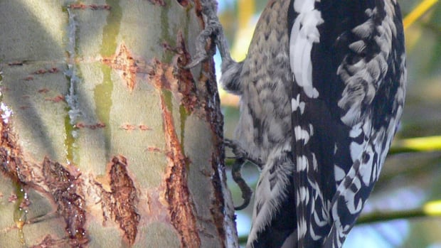 woodpeckers-amazing-physical-characteristics
