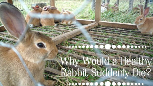 what-are-the-causes-of-sudden-death-in-rabbits