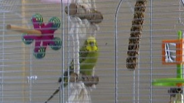 what-do-budgies-eat