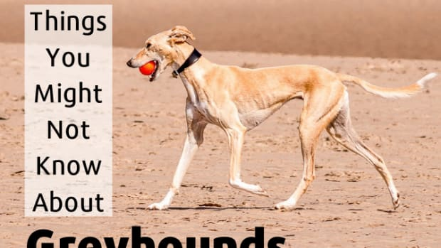 topgreyhoundfacts