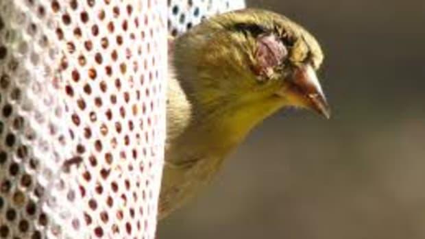 american-goldfinches-avian-conjunctivitis