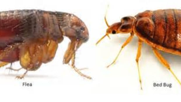 how-to-tell-between-fleas-and-bed-bugs-detection-prevention-and-treatment