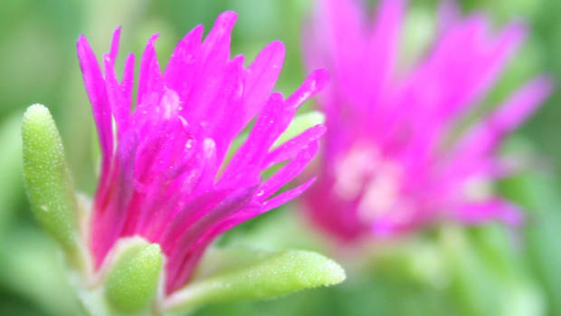 the-hardy-ice-plant-a-garden-favorite