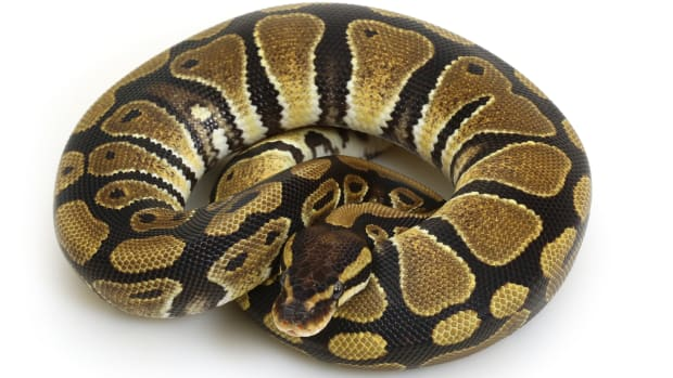 ball-python-care-guide