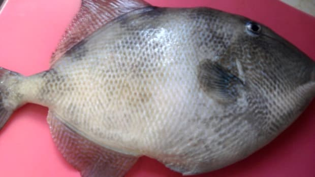 catch-trigger-fish-in-the-new-jersey-shore-bay