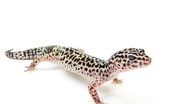 geckos-101-the-leopard-gecko
