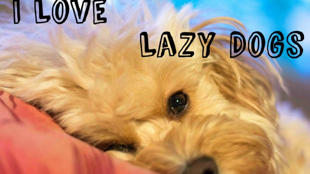 lazy-dog-breeds
