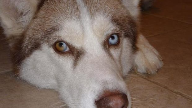 the-good-the-bad-and-the-ugly-of-siberian-husky-ownership