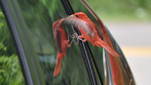 why-is-robin-attacking-my-window