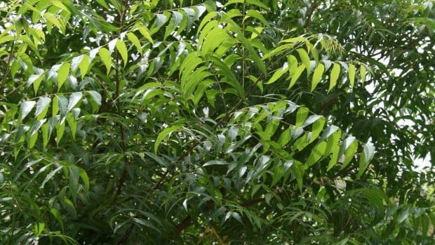 neem-natural-pesticide